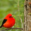 Piranga écarlate.  Peu commun, printemps-automne.  Nicheur _  Scarlet Tanager.  Uncommon, spring-fall.  Breeds.