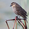 Carouge à épaulettes.   Commun, printemps à l'automne; rare l'hiver.  Nicheur _ Red-winged Blackbird.  Common, spring to fall; rare in winter.  Breeds.