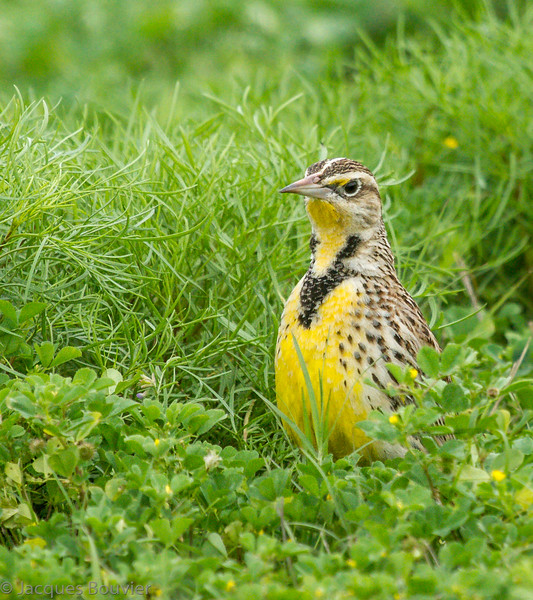 Sturnelle des prés au Texas le 7 mars 2012.  Peu commun, printemps-automne.  Très rare l'hiver.<br /> <br /> An Eastern Meadowlark in Texas on 7 March 2012.  Uncommon, spring-fall.  Very rare in winter.