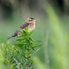 Goglu des prés femelle adulte à Summerstown le 30 juin 2010.  <br /> <br /> Commun, printemps-automne.  Nicheur. <br /> <br /> Depuis 2011 on considère cette espèce comme étant menacé en Ontario.<br /> <br />  <br /> An adult female Bobolink in Summerstown on 30 june  2010.  <br /> <br /> Common, spring-fall.  Breeds.<br /> <br /> In Ontario this species was declared threatened in 2011.