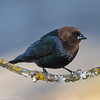 Vacher à tête brune.    Commun, printemps-été; rare l'hiver.  Nicheur _ Brown-headed Cowbird. Common, spring to fall; rare in winter.  Breeds.