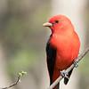 Piranga écarlate.  Peu commun, printemps-automne.  Nicheur _  Scarlet Tanager.  Uncommon, spring-fall.  Breeds.