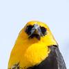 Carouge à tête jaune.    Très rare l'hiver _ Yellow-headed Blackbird.  Very rare in winter.