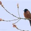 Oriole des vergers. Extrêmement rare, printemps _ Orchard Oriole.  Extremely rare, spring.