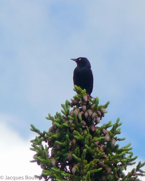 Quiscale rouilleux mâle, en plumage nuptial, au Labrador à l'est de Schefferville le 28 juin 2012.<br /> <br /> Peu commun au printemps et à l'automne. Très rare l'hiver.<br /> <br /> A breeding-plumaged male Rusty Blackbird  on 28 June 2012.<br /> <br /> Uncommon, spring and fall. Very rare in winter.