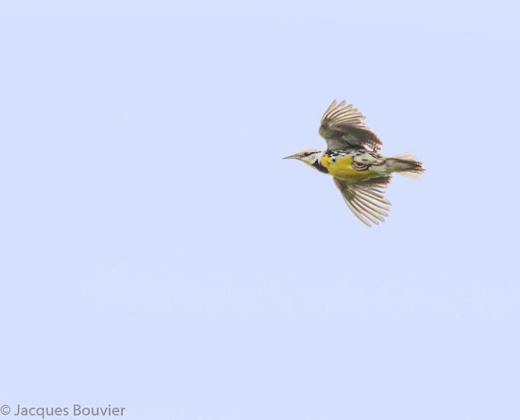 Sturnelle des prés.  Peu commun, printemps-automne. Très rare l'hiver.  Nicheur _ Eastern Meadowlark.  Uncommon, spring-fall. Very rare in winter.  Breeds.