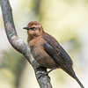 Quiscale rouilleux.  Peu commun au printemps et à l'automne. Très rare l'hiver _  Rusty Blackbird.  Uncommon, spring and fall. Very rare in winter.