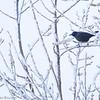 Quiscale bronzé sur le bord du chemin Besner au nord de St-Isidore le 28 janvier 2012.<br /> <br /> Commun, printemps-automne. Rare l'hiver. Nicheur.<br /> <br /> A Common Grackle observed along Besner road not far from St-Isidore on 28 January 2012.<br /> <br /> Common, spring-fall. Rare in winter. Breeds.
