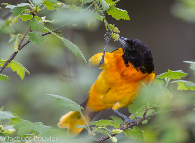 Oriole de Baltimore mâle adulte dégustant du nectare de la fleur d'un Groseiller des chiens (Ribes cynosbati) au parc national Pointe Pelée le 14 mai 2013.  <br /> <br /> Peu commun, printemps-automne.  Nicheur.<br /> <br /> An adult male Baltimore Oriole feeding on nectar of Prickly Gooseberry (Ribes cynosbati) in Point Pelee National Park on 14 May 2013.  <br /> <br /> Uncommon, spring-fall.  Breeds.