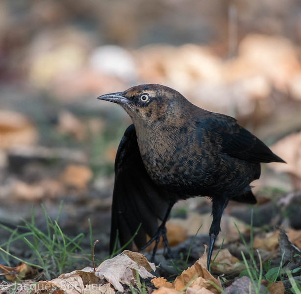 Quiscale rouilleux.  Peu commun au printemps et à l'automne. Très rare l'hiver _  Rusty Blackbird.  Uncommon, spring and fall. Very rare in winter.