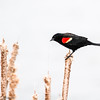 Carouge à épaulettes.   Commun, printemps à l'automne; rare l'hiver.  Nicheur _ Red-winged Blackbird.  Common, spring to fall; rare in winter.  Breeds.