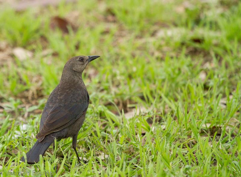Quiscale de Brewer. Extrêmement rare au printemps _ Brewer's Blackbird.  Extremely rare in spring.
