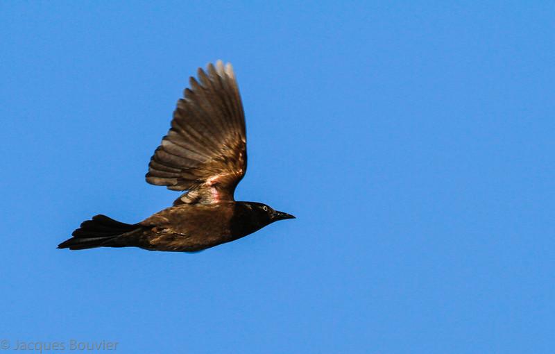 Quiscale bronzé.  Commun, printemps-automne. Rare l'hiver.  Nicheur _  Common Grackle.  Common, spring-fall. Rare in winter.  Breeds.