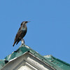 Étourneau sansonnet. Commun, toute l'année. Nicheur _  European Starling.  Common, all year. Breeds.
