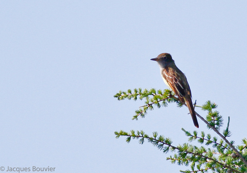 Moucherolle des aulnes photographié le 2 juin 2010.  Commun, printemps-automne.  Nicheur.<br /> <br /> Cette espèce est très répandue le long du sentier récréatif de Prescott et Russel et donc très facile à trouver. En juillet 2007 j'en ai compté 64 le long de 44 des 72 km du sentier.  Familiarisez-vous avec le chant du mâle car ce moucherolle est plus souvent entendu que vu.<br /> <br /> An Alder Flycatcher photographed on 2 June 2010.  Common, spring-fall.  Breeds. <br /> <br /> This species is very widespread and consequently is very easy to find along the Prescott and Russel recreational trail. During July 2007 I counted 64 individuals along 44 of the 72 km-long trail.  Learn the male's song because it is more often heard than seen.