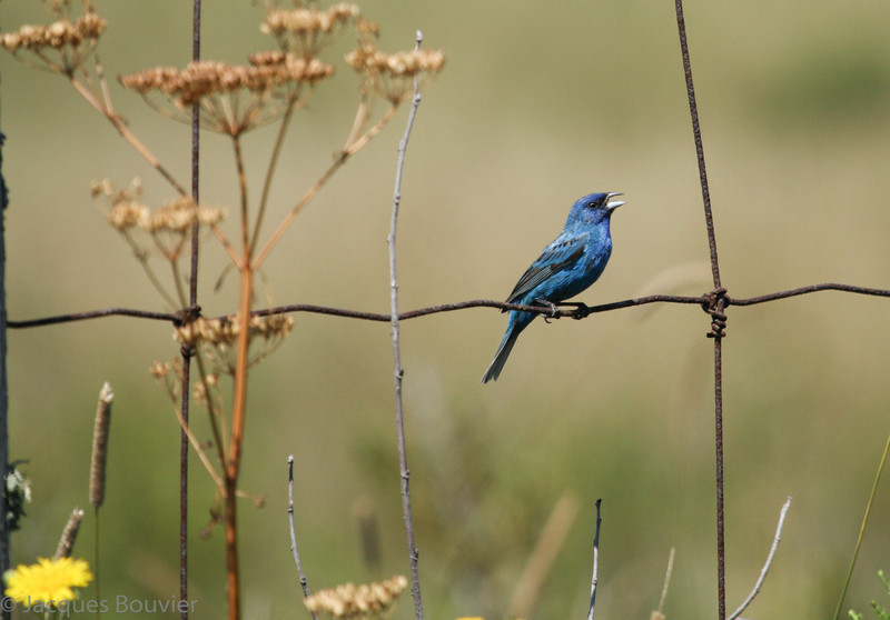 Passerin indigo mâle près de Plantagenet le 1 août 2010.  Peu commun, printemp-automne.<br /> <br /> Il n'est pas facile à trouver sur le sentier récréatif de Prescott et Russell.  Le sentier est tout de même l'un des meilleurs endroits pour le trouver dans notre cercle de miroise.  En juillet 2007 un total de 24 individus ont été vus le long des km suivants: 1, 9, 11 à 15, 18, 21, 26, 38, 55, 56, et 69 à 72.<br /> <br /> A male Indigo Bunting near Plantagenet on 1 August 2010.  Uncommon, spring-fall.<br /> <br /> It is not easy to find on the Prescott and Russell recreational trail. Regardless the trail is one of the better sites to find them in our 5 counties birding circle.  During July 2007  24 individuals were observed on the following kilometers:  1, 9, 11 à 15, 18, 21, 26, 38, 55, 56, et 69 à 72.