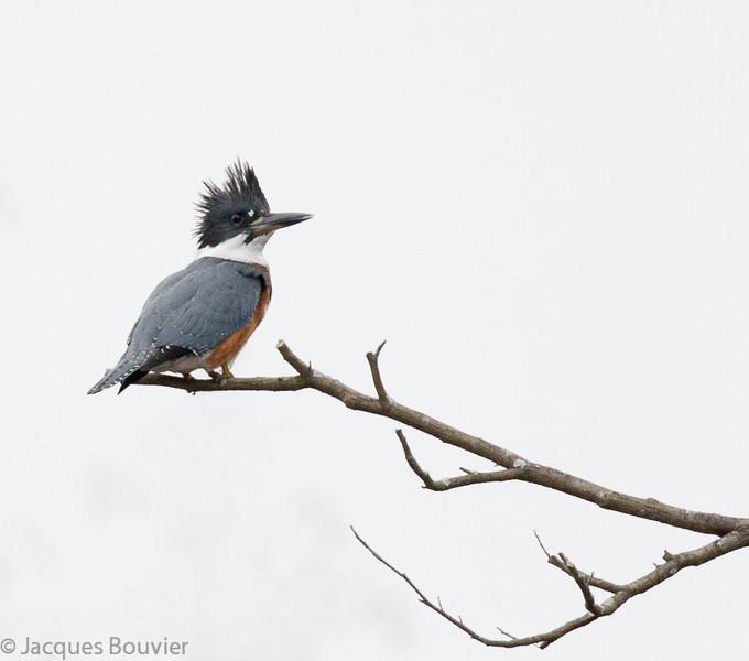 Martin-pêcheur d'Amérique femelle sur le bord d'un chemin au marais Cooper  le 28 octobre 2012.  <br /> <br /> Commun, printemps-automne.  Rare l'hiver.  Nicheur. <br /> <br /> Sur le sentier récréatif de Prescott et Russell il est très difficile à trouver. En juillet 2007 j'en ai vu 6 dont un le long de chacun des km suivants: 17, 20, 43, 44, 49 et 67.<br /> <br /> <br /> <br /> A female Belted Kingfisher on the side of a Cooper Marsh road on 26 October 2012.<br /> <br /> Common, spring-fall.  Rare in winter.  Breeds.<br /> <br /> This bird is very difficult to find on the P/R recreational trail. During July 2007 I saw this species once along each of the following km stretches: 17, 20, 43, 44, 49 et 67.