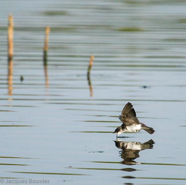 Hirondelle bicolore s'abreuvant au vol à la lagune de Maxville le 3 septembre 2010. Commun, printemps-automne.<br />  <br /> Cette hirondelle est très difficile à trouver sur le sentier récréatif de Prescott et Russell. En juillet 2007 seulement 3 individus ont été vus survolant les km 20, 29 et 58.<br /> <br /> A Tree Swallow drinking on the wing at the Maxville sewage lagoons on 3 September 2010. Common, spring-fall.<br />  <br /> It is very difficult to find on the Prescott and Russel recreational trail. During July 2007 only 3 individuals were observed flying over km 20, 29 and 58.