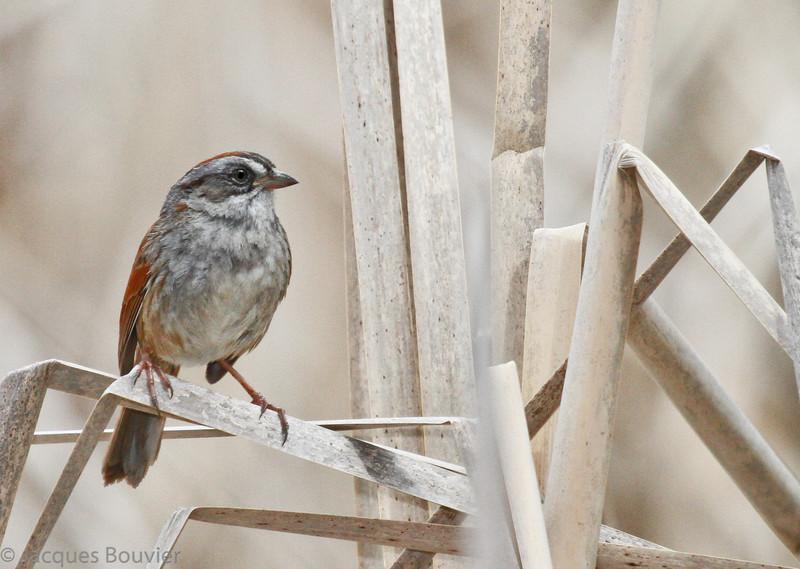 Bruant des marais adulte mâle à la Maison Tucker à Rockland le 2 mai 2010. <br /> <br />  Commun, printemps-automne.<br /> <br /> Très répandue et habituellement très facile à trouver le long du sentier récréatif de Prescott et Russell. En juillet 2007, au moins un des 64 bruants que j'ai observés se trouvait sur chacun des 28 des 72 km du sentier.<br />  <br /> <br /> An adult male Swamp Sparrow at Tucker House in Rockland on 2 May 2010.  <br /> <br /> Common, spring-fall.<br /> <br /> Very widespread and usually easy to find on the Prescott-Russell recreational trail. During July 2007, I counted 64 individuals of which at least one of these was found on each of the 28 km of the 72-km long trail.