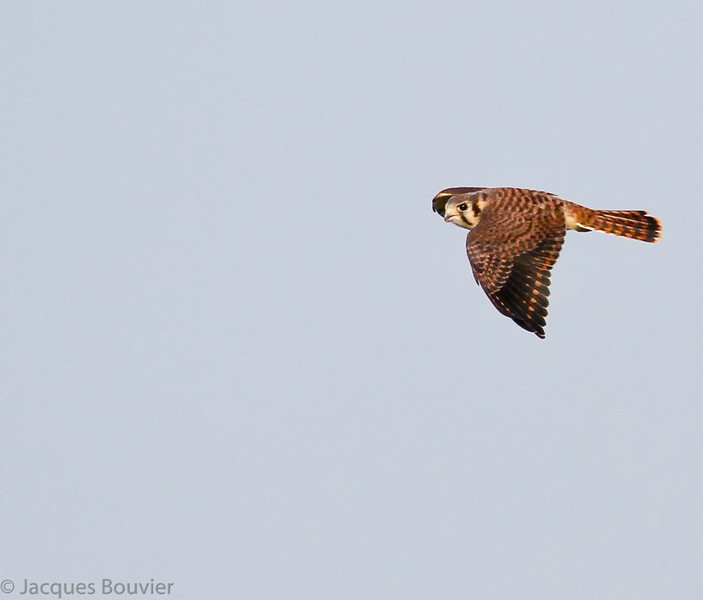 Crécerelle d'Amérique .  Peu commun du printemps à l'automne; rare l'hiver.  Nicheur _  American Kestrel.  Uncommon, spring to fall; rare in winter.  Breeds.