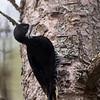 Pic à dos noir femelle dans le Parc Gatineau près du Lac Ramsay le 5 décembre 2012.<br /> <br /> Rare, automne au printemps.  Très rare l'été.<br /> <br /> A femelle Black-backed Woodpecker near Ramsay Lake in Gatineau Parc on 5 December 2012.<br /> <br /> Rare, fall to spring.  Very rare in summer.