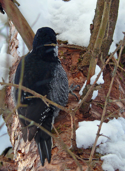 Pic à dos noir adulte femelle vu durant le RON de la Forêt Larose-Casselman le 2 janvier 2008.  <br /> <br /> Rare, de l'automne an printemps. Très rare l'été.<br /> <br /> An adult female Black-backed Woodpecker observed during the Larose Forest-Casselman CBC on 2 January 2008.  <br /> <br /> Rare, fall to spring.  Very rare in summer.
