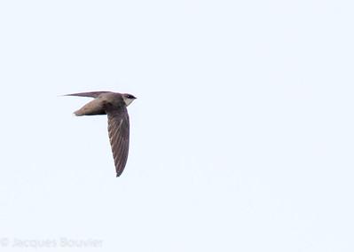 Martinet ramoneur volant au-dessus de la lagune d'Alfred le 25 mai 2013.   Peu commun, printemps-été. Nicheur.  A Chimney Swift flying over the Alfred sewage lagoons on 25 May 2013.  Uncommon, spring-fall. Breeds.