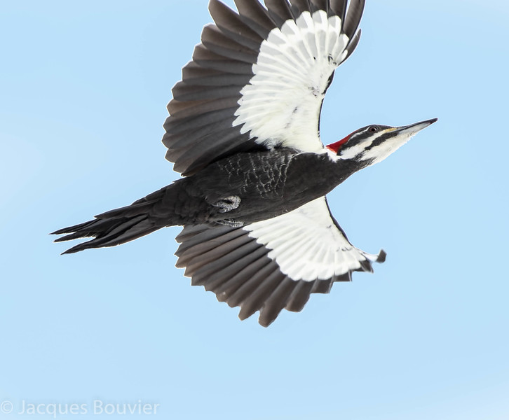 Grand Pic.  Peu commun toute l'année. Nicheur _  Pileated Woodpecker.  Uncommon all year. Breeds.