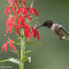 Colibri à gorge rubis.   Commun, printemps-été.  Nicheur _ Ruby-throated Hummingbird.  Common, spring-fall.  Breeds.
