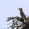 Pic à dos rayé.  Très rare, automne au printemps _ American Three-toed Woodpecker.  Very rare, fall to spring.
