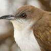 Coulicou à bec noir.  Le plus commun des deux espèces de coulicous localement.  2011-05-16.<br /> <br /> Black-billed Cuckoo. Locally it is more common than the rare Yellow-billed Cuckoo.