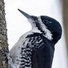 Pic à dos noir femelle sur le sentier Jack Pine à Stony Swamp, Ottawa, le 7 mars 2013.<br />  <br /> Rare, automne au printemps. Très rare l'été.<br />  <br /> A female Black-backed Woodpecker on the Jack Pine trail in Stony Swamp, Ottawa, on 7 March 2013.<br />  <br /> Rare, fall to spring. Very rare in summer.