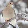 Tourterelle triste.  Commun durant l'année longue.  Nicheur _ Mourning Dove. Common, all year.  Breeds.
