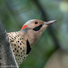 Pic flamboyant.  Commun, printemps-automne.  Très rare l'hiver.  Nicheur _  Northern Flicker.  Common, spring-fall.  Very rare in winter.  Breeds.