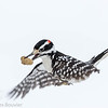 Pic chevelu.  Commun, toute l'année.  Nicheur _  Hairy Woodpecker.  Common, all year.  Breeds.