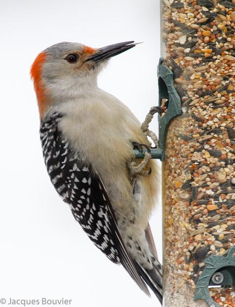 Pic à ventre roux femelle (rouge derrière la tête) a passé l'hiver et une partie du printemps (22 décembre 2010 au 8 mai 2011) à une mangeoire sur le chemin Green Lane à Hawkesbury.  <br /> <br /> Rare de l'automne au printemps.<br /> <br /> This female Red-bellied Woodpecker (red restricted to back of head) visited a Green Lane Rd. feeder in Hawkesbury from 22 December 2010 to 8 May 2011.<br /> <br /> Rare, fall to spring.