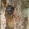 Pic maculé juvénile presque prêt à sortir de son nid  au marais Cooper à Lancaster le 21 juin 2013. <br /> <br /> Commun, printemps-automne. Nicheur.<br /> <br /> A young Yellow-bellied Sapsucker nearly ready to leave its nest cavity in Lancaster at Cooper Marsh on 21 June 2013. <br /> <br /> Common, spring-fall. Breeds.