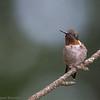 Colibri à gorge rubis mâle adulte à Notre Dame du Laus le 14 août 2012.  <br /> <br /> Commun, printemps-été.  Nicheur.<br /> <br /> An adult male Ruby-throated Hummingbird in Notre Dame du Laus on 14 August 2012.<br /> <br /> Common, spring-fall.  Breeds.