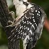 Pic chevelu mâle à Notre Dame du Laus QC le 20 août 2009.<br /> <br /> Commun, toute l'année.  Nicheur.<br /> <br /> A male Hairy Woodpecker at  Notre Dame du Laus QC on 20 August 2009.<br /> <br /> Common, all year.  Breeds.