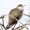 Coulicou à bec jaune.  Très rare.  Nicheur possible _ Yellow-billed Cuckoo.   Very rare.  Possibly breeds.