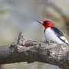 Pic à tête rouge adulte au parc provincial Rondeau le 9 mai 2011.<br /> <br /> Très rare, toute l'année.  Nicheur possible.<br /> <br /> An adult Red-headed Woodpecker at Rondeau provincial Park on 9 May 2011.<br /> <br /> Very rare, all year.  Possibly breeds.