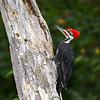 Grand Pic mâle sur la concession 6 près de la tourbière d'Alfred le 9 avril 2012.<br /> <br /> Peu commun toute l'année.<br /> <br /> A male Pileated Woodpecker on concession 6 near the Alfred bog on 9 April 2012.<br /> <br /> Uncommon all year.