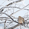 Tourterelle triste.  Commun durant l'année longue.  Nicheur _ Mourning Dove. Common, all year.  Breeds.