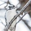 Pic mineur.  Commun toute l'année.  Nicheur _ Downy Woodpecker.  Common all year.  Breeds.