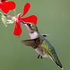Colibri à gorge rubis juvénile et Geranium (Pelargonium sp) à Notre Dame du Laus le 13 août 2013. <br /> <br /> Commun, printemps-été.  Nicheur.<br /> <br /> A juvenile plumaged Ruby-throated Hummingbird feeding on a Geranium (Pelargonium sp) in Notre Dame du Laus on 13 August 2013. <br /> <br /> Common, spring-fall.  Breeds.