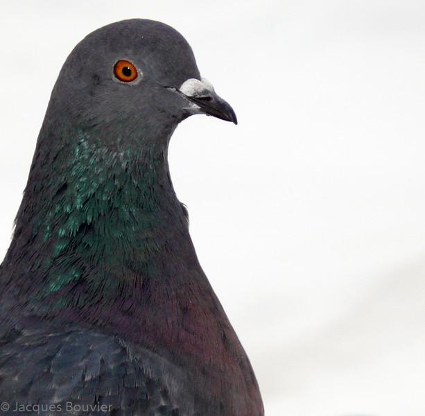Pigeon biset à Hawkesbury le 27 décembre 2009.  <br /> <br /> Commun pendant toute l'année.  Nicheur.<br /> <br /> Rock Pigeon in Hawkesbury on 27 December 2009.  <br /> <br /> Common all year.  Breeds.
