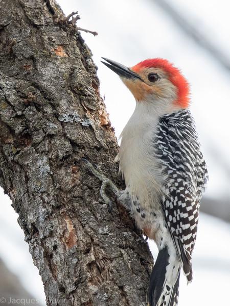 Pic à ventre roux.  Rare de l'automne au printemps _ Red-bellied Woodpecker.  Rare, fall to spring.