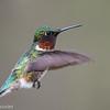 Colibri à gorge rubis.  Commun, printemps-été.  Nicheur _ Ruby-throated Hummingbird.  Common, spring-fall.  Breeds.