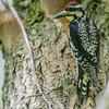 Pic maculé adulte femelle au marais Cooper à Lancaster le 20 juin 2013.  La femelle n'a pas la gorge rouge du mâle.<br /> <br /> Commun, printemps-automne.  Nicheur.<br /> <br /> An adult female Yellow-bellied Sapsucker in Lancaster at Cooper Marsh on 20 June 2013.  The female differs from the male by not having a red throat.<br /> <br /> Common, spring-fall.  Breeds.