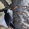 Pic à dos noir mâle sur le sentier Jack Pine à Stony Swamp, Ottawa, le 8 mars 2013.<br /> <br /> Rare, automne au printemps. Très rare l'été.<br /> <br /> A male Black-backed Woodpecker on the Jack Pine trail in Stony Swamp, Ottawa, on 8 March 2013.<br /> <br /> Rare, fall to spring. Very rare in summer.
